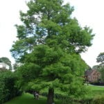 Dawn redwood (Metasequoia glyostroboides), Gostrey meadow copyright Peter Bridgeman