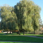 Golden weeping willow (Salix x sepulcralis), Gostrey Meadow (2) copyright Peter Bridgeman