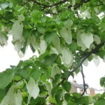 Paper handkerchief tree Arboreta copyright Peter Bridgeman