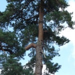 Scotts pine (Pinus sylvestris), Firgrove Hill copyright Peter Bridgeman