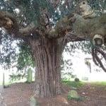 Yew (Taxus baccata), St Andrew's churchyard copyright Peter Bridgeman