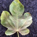16-fig-leaf