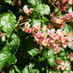 no-15-red-horsechestnut-flower