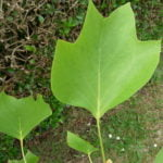 no-17-tulip-tree