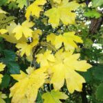 no-24-field-maple-autumn-leaves