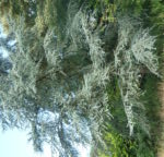no-9-blue-atlas-cedar