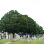 Hornbeam, St Andrew's Churchyard (Carpinus betulus) copyright Peter Bridgeman