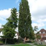 Lombardy Poplar (Populus nigra 'Italica') copyright Peter Bridgeman