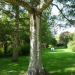 Silver Birch (Betula pendula) copyright Peter Bridgeman
