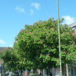 no-15-red-horse-chestnut-tree