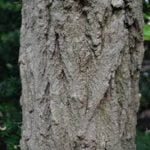 no-18-false-acacia-bark