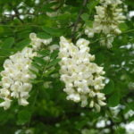 no-18-false-acacia-flowers