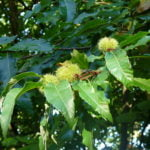 no-25-sweet-chestnut-autumn-fruit