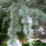 Farnham and Farnham Park tree trail IIno-9-blue-atlas-cedar-foliage