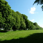 the-avenue-lime-and-beech-trees